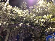 桜はやはり綺麗だなあ
