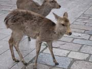 奈良のシカ